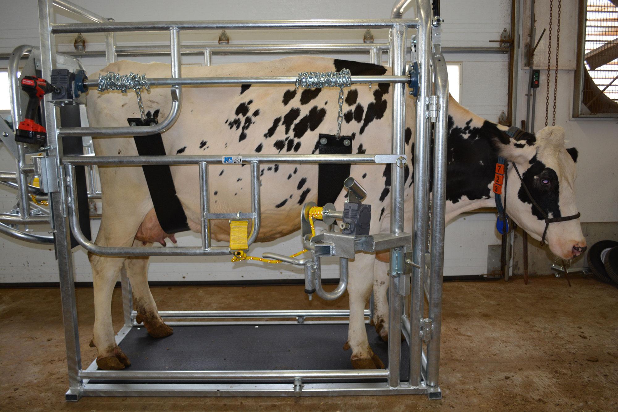 taille sabot / comment attacher vache pour stabiliser